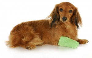dog_with_bandage