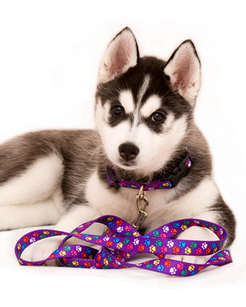 Puppy Siberian Husky with lead and collar